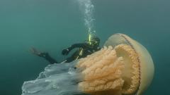 W trakcie nurkowania na południu Anglii napotkała gigantyczną meduzę.